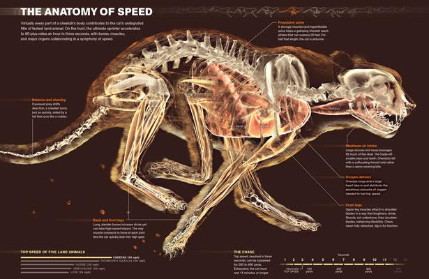Infografía sobre el guepardo de National Geographic
